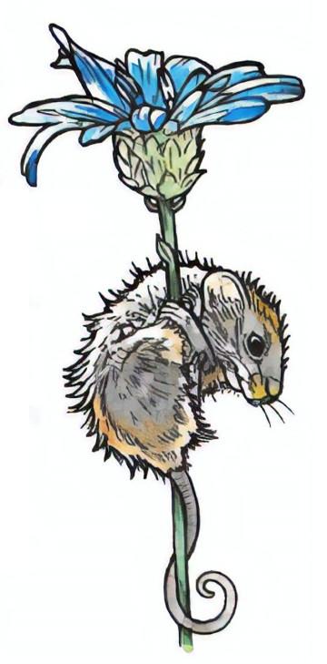 szczur rysunek